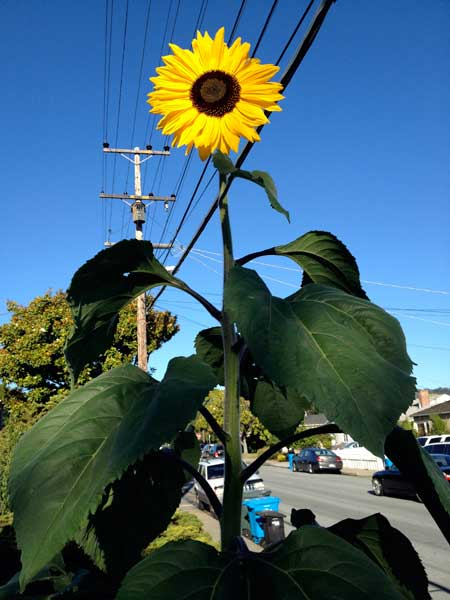 Sunflower in June